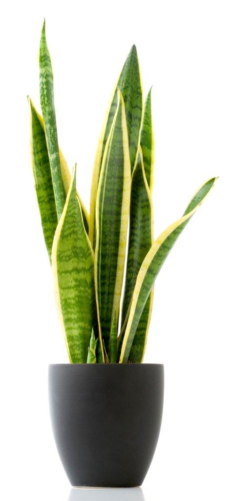 Tudi nekatere lončnice lahko poslabšajo alergijo na cvetni prah.