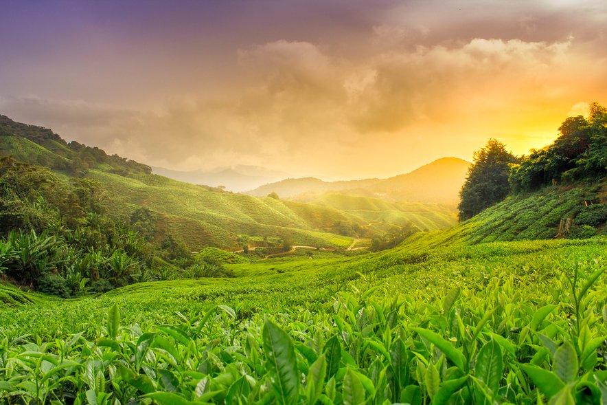 Idilična čajeva polja v hribovju Cameron