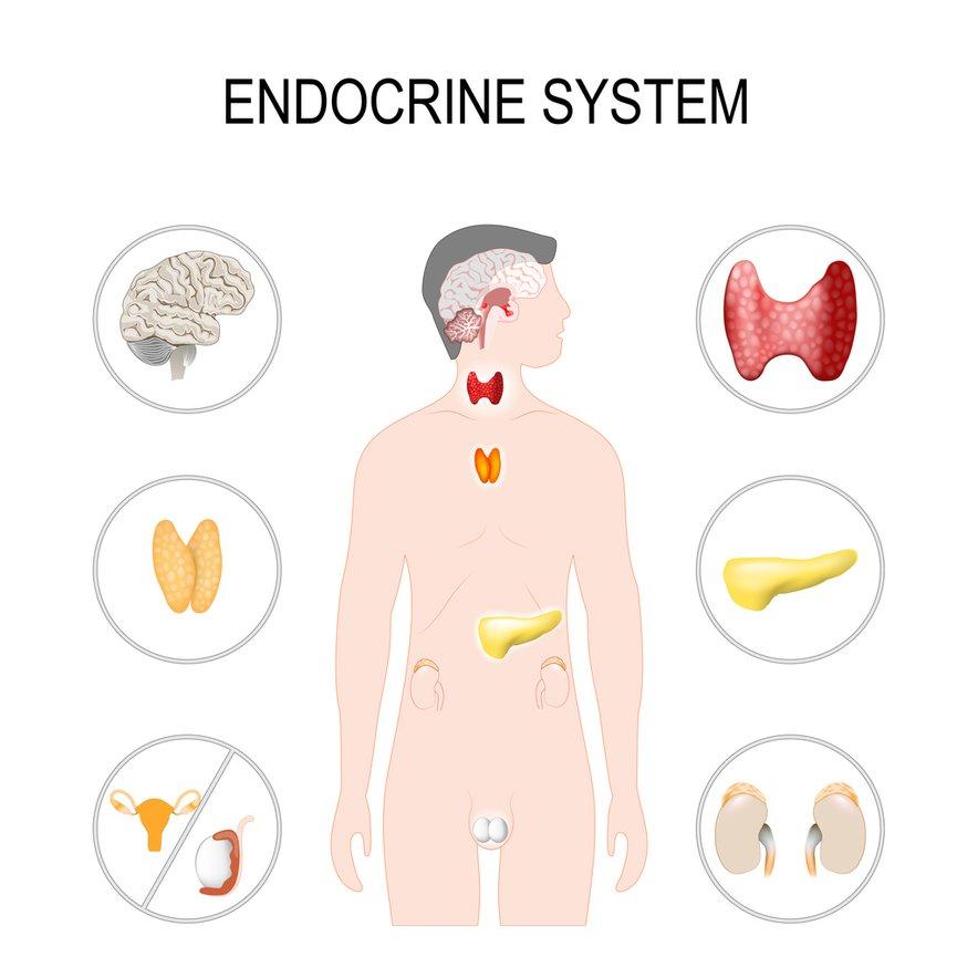 Endokrini sistem izloča hormone, kot vidimo se to dogaja v zelo različnih delih telesa.