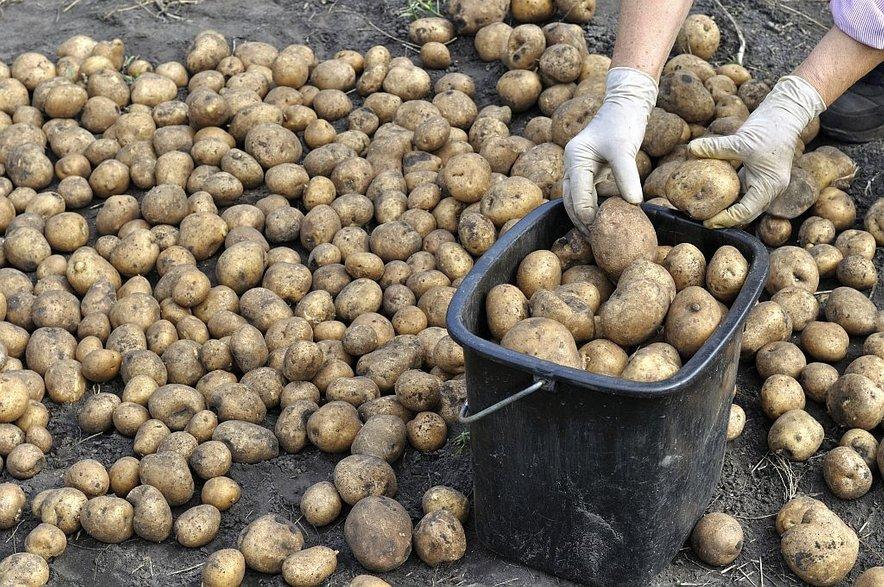 Bodite pozorni na gomolje krompirja, ki imajo grenak okus.