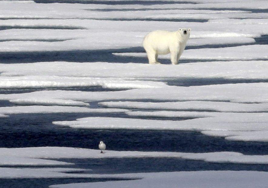 Na dolgi rok klimatske spremembe neugodno vplivajo na polarne medvede, ki zaradi taljenja ledu in krčenja ledene površine vedno težje najdejo hrano.