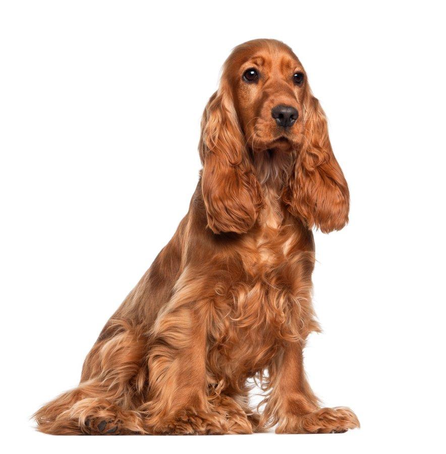 Nega dlake velja za zahtevno. Redno jo je potrebno česati s krtačo in glavnikom, posebno pozorni pa bodite na predele okoli nog in ušes, kjer se radi naredijo vozli. Ob rednem striženju in kopanju je koker španjel pes, ki nima posebnega vonja.