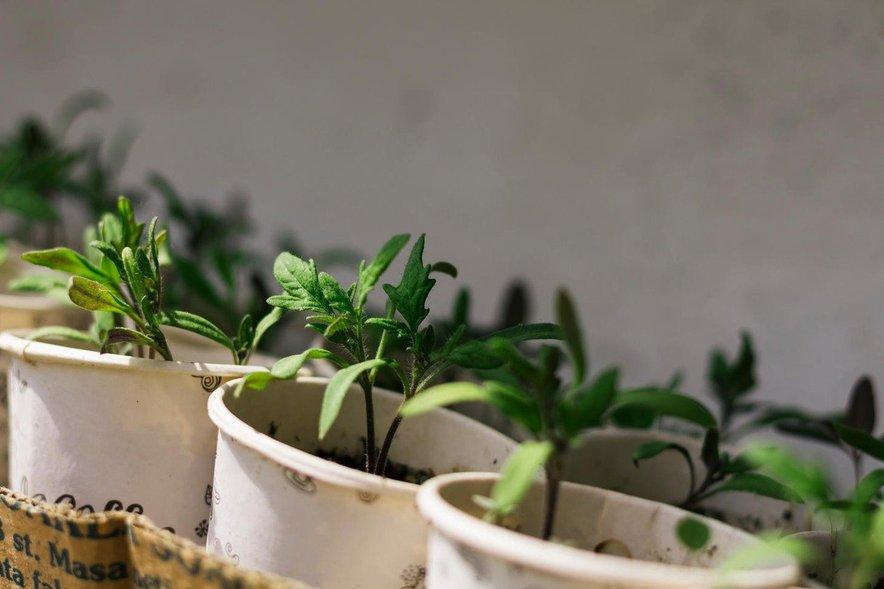 Načrtujte gredice in zasejte semena za domače sadike. Za paradižnik je še prehitro.