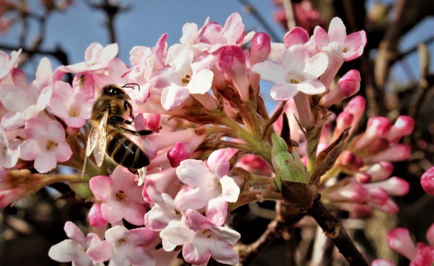 Ponekod že cvetijo nekatere sorte sadnega drevja.