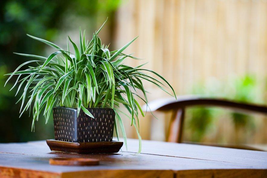 Pajkovka je ena najboljših in najučinkovitejših rastlin za čiščenje formaldehida iz zraka, prav tako zrak očisti ksilena, ogljikovega monoksida in benzena.