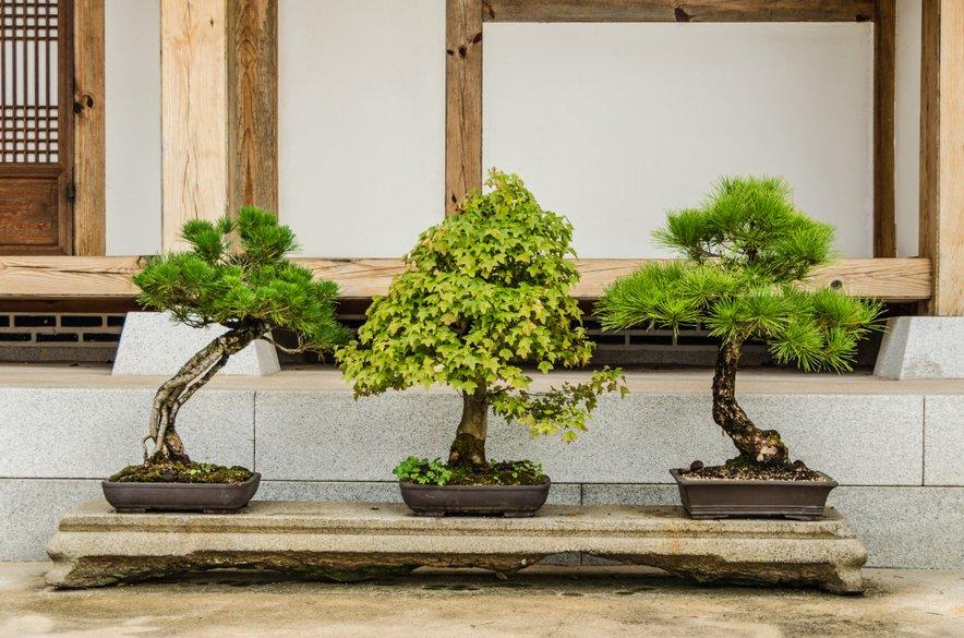 Za vzgojo v notranjih prostorih so primerne drevesne vrste, ki izvirajo iz tropskih in subtropskih krajev, med njimi fikus, karmona, kitajski brest … Za zunanjo uporabo pa so primerni tisti, ki poznajo vse štiri letne čase, in sicer javor, bukev, bor, brin, rododendron. Izhajajo predvsem iz Japonske in Koreje.