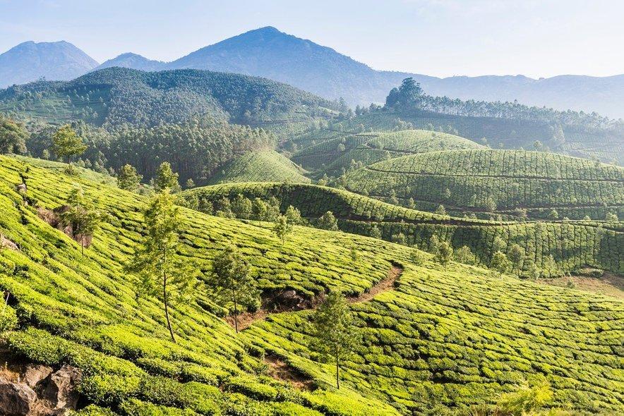 Neskončne indijske plantaže čaja.