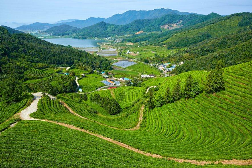 Samo na največji plantaži Daehan Dawon raste 5,8 milijona čajnih dreves.
