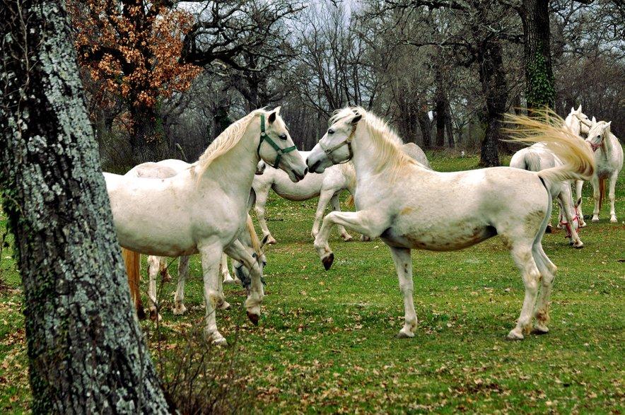 Tradicionalna reja konj bi se lahko kmalu uvrstila na seznam Unescove nesnovne dediščine.