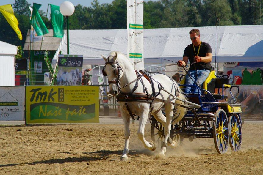 Ta pasma konj je nepogrešljivi del tudi pri konjeniškem športu.
