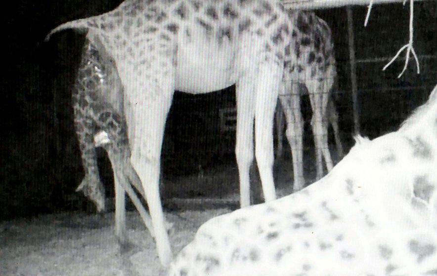 Kamere so ujele trenutek, ko se je skotil mladiček žirafe.