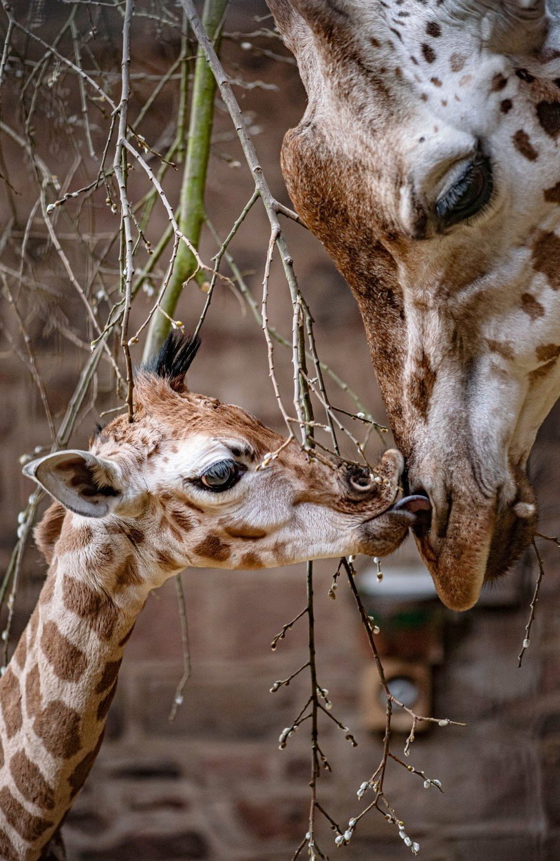 Samica in mladiček sta že vzpostavila prve stike.