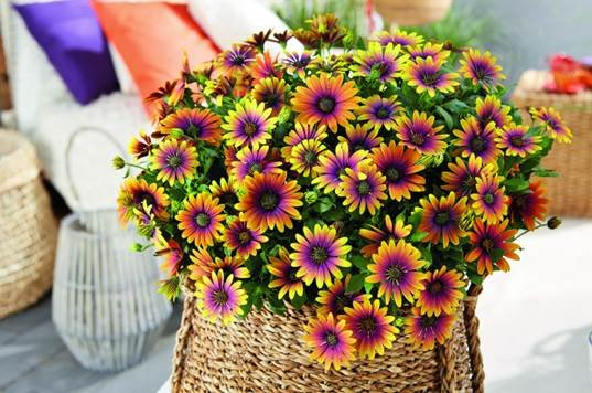 Kapski meseček vas bo navdušil s svojimi cvetovi.