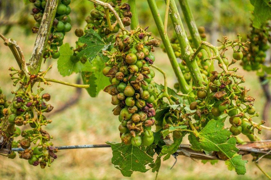 Uničeno grozdje