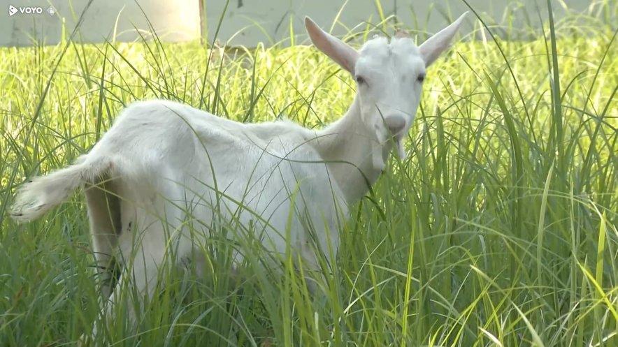 Anna se je razveselila osmih odraslih koz in štirih mladičkov.