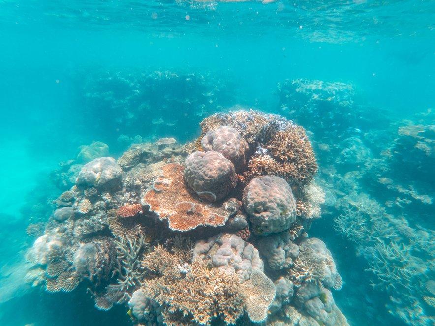 Veliki koralni greben so prizadela masovna beljenja.