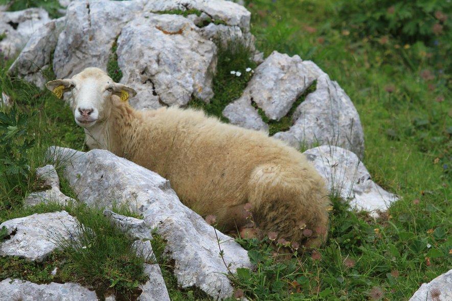 Bovška ovca izvira iz prvotne bele ovce, ki je bila nekdaj razširjena v alpskem svetu.
