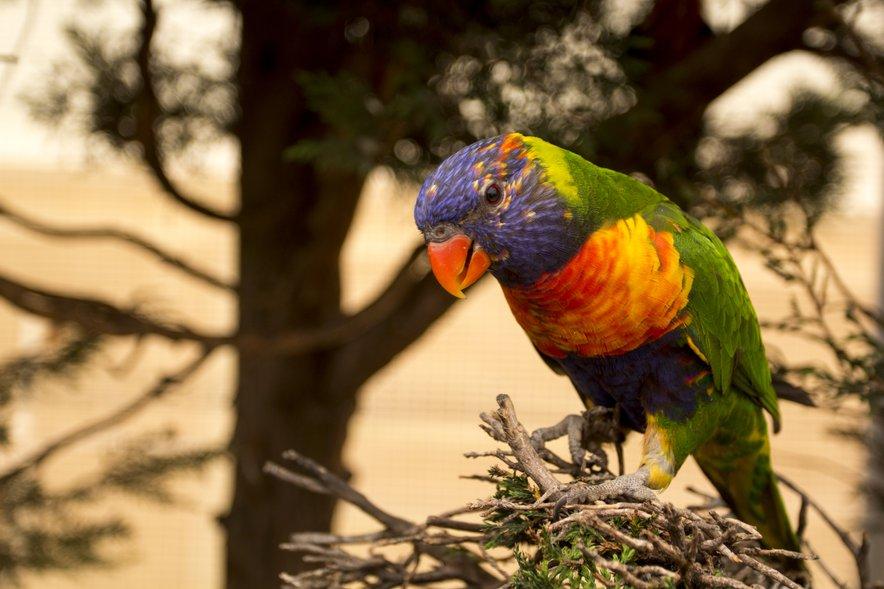 Avstralske papige