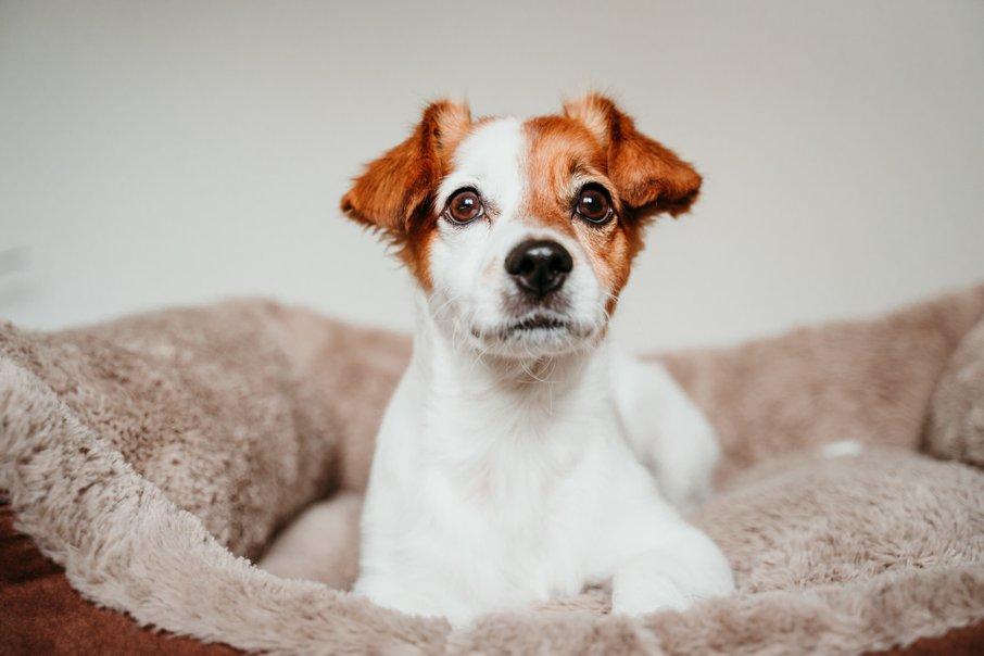 Pasje postelje, posebej, če je iz blaga, ni dobro kupovati rabljene.
